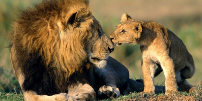 2925_african_lion_and_his_cub_1440x900_1_460x230