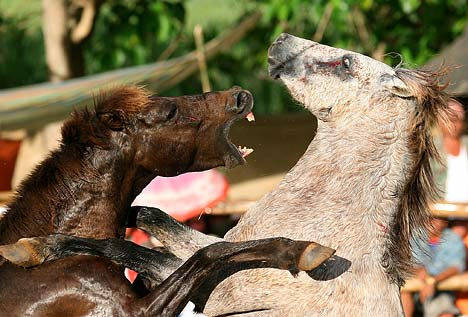 Horse Fighting 1