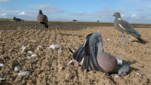 pigeon_shooting_decoys_on_drillings